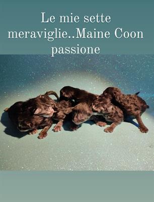 Maine Coin cucciolo cerca amore