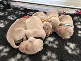 Cuccioli Weimaraner - tre maschi e due femmine