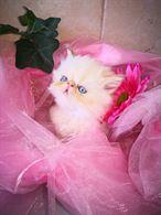 Bellissima cucciolata di gatti persiani