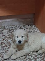 Golden retriever con pedigree cuccioli
