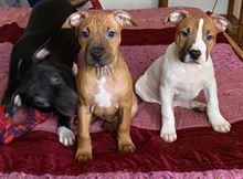 Cuccioli di Amstaff in vendita a Ferrara
